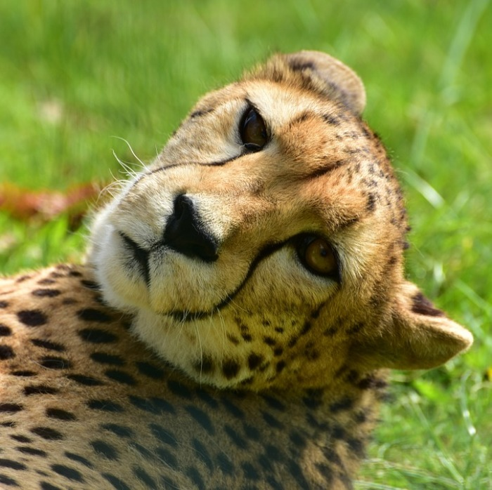 cheetah-951472_960_720